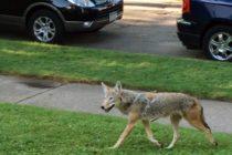 La policía alerta sobre la presencia de coyotes en Miami-Dade