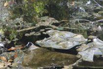 Denuncian muerte de animales y fauna por contaminación en aguas de un estanque en Margate