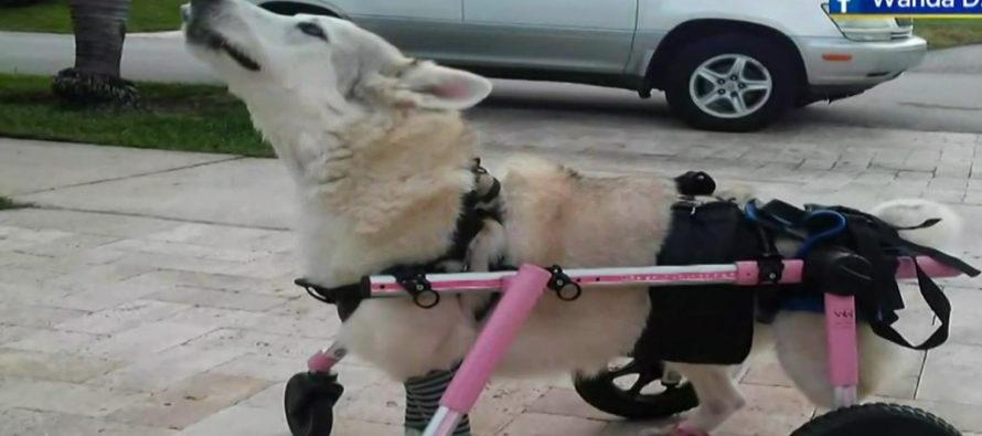 Encontraron muerta a la perrita discapacitada que estaba en el carro que robaron en Broward