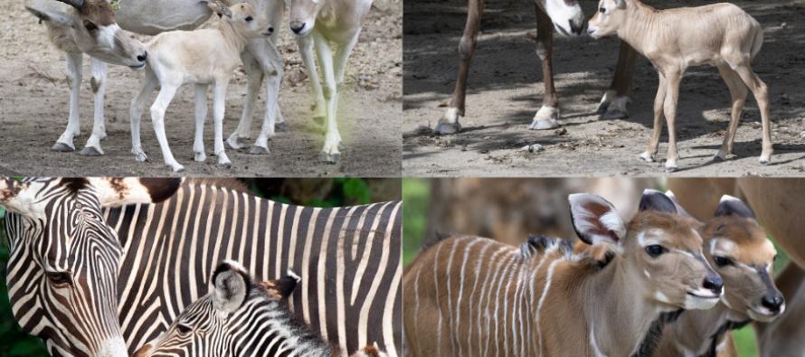 El zoológico de Miami celebra el nacimiento de seis crías nuevas en 7 días