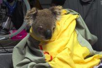 Koalas rescatados de incendios vuelven a la vida silvestre en Australia