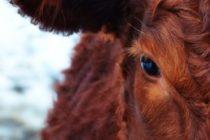 Chocó contra una vaca…¡y salió ileso!