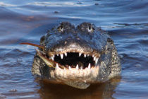 ¿Cómo defenderse ante el ataque de un caimán?