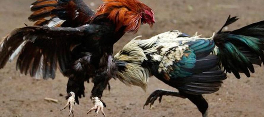 Imputado sexagenario por entrenar gallos de pelea en el condado de Lake