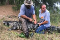 Capturan caimán en laguna de Broward donde desapareció mujer