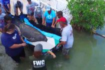 Liberado manatí que se enredó en hilo de pescar