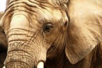 Elefante de Michael Jackson escapó de Zoológico de Florida