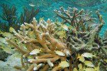 Ambientalistas recuperan arrecifes coralinos destrozados por huracán Irma