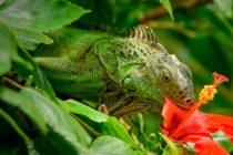 La otra especie invasora que infesta a la Florida: Las iguanas verdes