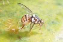 Detectan mosca oriental de la fruta en Miami-Dade