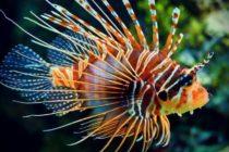 ¡Nueva moda ecológica! El Lionfish Challenge llegó a la Florida