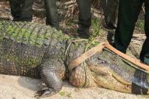 Alivio en Venice: Oficiales capturan un caimán de casi 4 metros