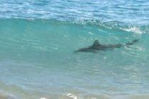 Tiburón merodea entre los bañistas en playa de Miami Beach