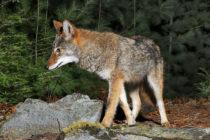 En el vecindario de Broward coyotes atacan gatos y perros domésticos