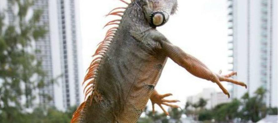 ¡Fuera de control! Las iguanas verdes invaden el sur de Florida