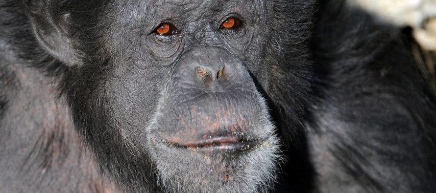 Muere chimpancé Bocco repentinamente a los 28 años de edad