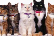Fíjate en el color de tu gato: he allí la clave de su personalidad
