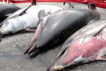 Hallan delfines muertos en costas de Florida afectadas por la marea roja