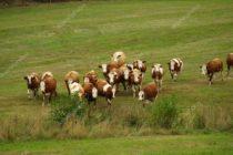 Manada de vacas persigue sospechoso en proceso policial