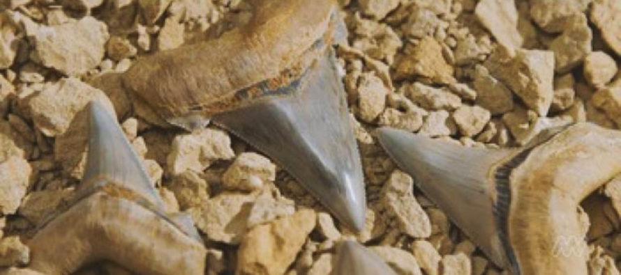 Hallan los dientes de un tiburón prehistórico gigante en Australia