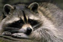 Encontraron mapaches con rabia en Miami