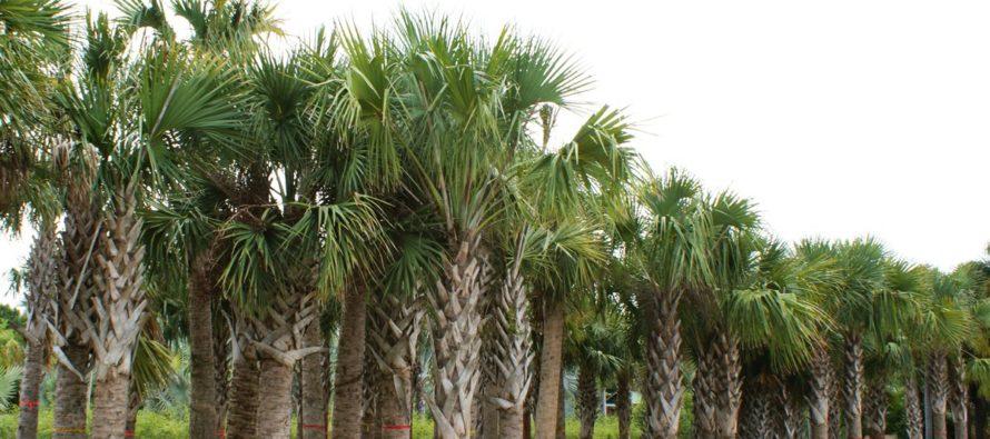 Científicos advierten que nueva enfermedad amenaza palmeras de Florida