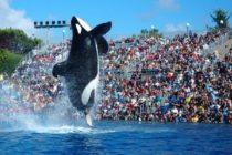 Confirman la muerte de una orca de 30 años en el parque SeaWorld en Orlando
