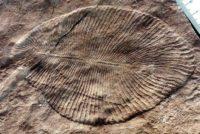 Se llama Dickinsonia y es el animal más antiguo del mundo, vivió hace 558 millones de años