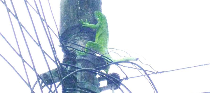 Iguana electrocutada deja sin electricidad a un asilo en Lauderdale Lakes