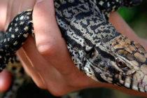 En Florida se toma medidas para combatir las especies animales invasoras