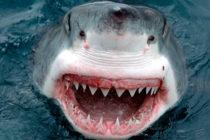 ¡Sorprendente! Conozca a los tiburones caníbales que se comen unos a otros en el océano