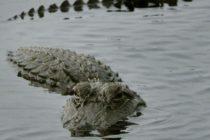 Solo en Florida: Encuentran un caimán y un tiburón en el mismo arroyo
