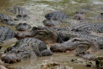 Hallan cuerpo en descomposición flotando en un lago de Florida y rodeado por caimanes