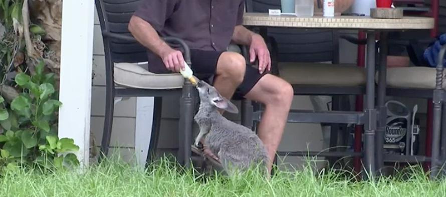 Recuperan canguro mascota extraviado de santuario en Jupiter Farms