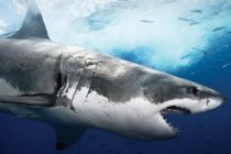 Primer ataque mortal en 82 años: gran tiburón blanco mata a joven en Massachussetts