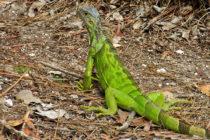 Iguanas en Florida: ¿sacrificio de un intruso molesto o una ganancia inesperada?