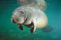 Aumentan muertes de manatíes por barcos en Florida