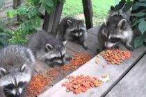 Sacrificados seis mapaches rabiosos en zoológico de Miami