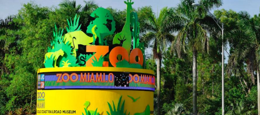 Las nutrias también reciben regalos en el Zoológico de Miami