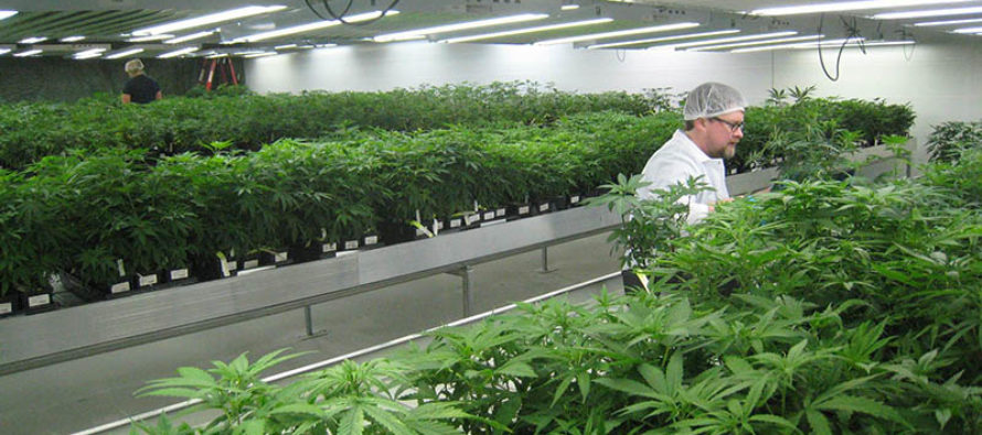 Despachan cannabis medicinal en menos de 24 horas en el sur de Florida