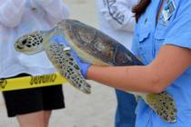 Cientos de tortugas marinas encuentran refugio en el zoológico Brevard