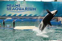 Orca 'Lolita' seguirá en cautiverio en el Miami Seaquarium