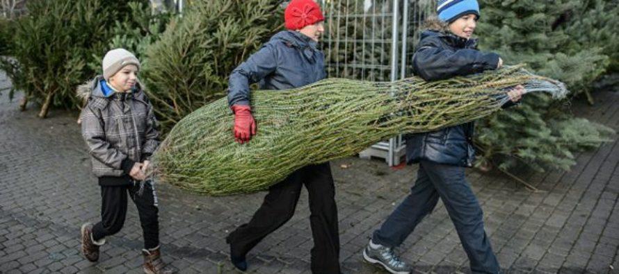 Inesperado: escasez de árboles de navidad en el país impulsan los precios