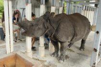Rinoceronte del zoológico de Miami quedó embarazada por inseminación artificial