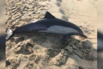 Delfín encontrado en playa de Fort Myers tenía una bolsa de basura en su estomago
