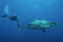 Buzos graban el momento en que fueron atacados por tiburones