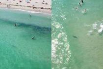 ¡Cuidado! Drones demuestran que tiburones «acompañan» a bañistas en Miami Beach