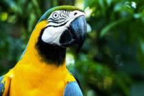 Se reduce número de guacamayas por la caza furtiva en Miami