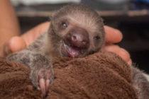 Adorable pereza bebé llega para complementar la belleza del Zoo de Florida