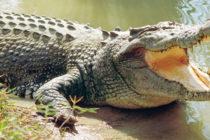 Graban a un cocodrilo de ocho pies cuando intentaba entrar a una casa en Palm Coast